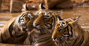 Tiger-Family